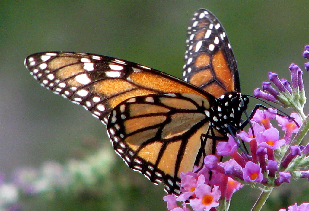 monarch-2